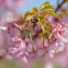 満開の河津桜、馬見丘陵公園 その2
