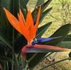ストレリチア・レギナエの花