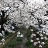 桜は見頃 Part 3