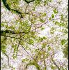 やっぱり葉桜がすき 火曜日 あめ/くもり
