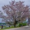 鴨部のセンダンの花 2021.5.13