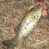 3回連続の釣果に恵まれた。。。いつまで釣れるか