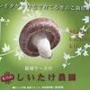 自宅で新鮮なしいたけが沢山食べられる!シイタケ栽培キットの椎茸観察日記