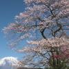 2021年 龍岩淵、岩本山、田貫湖などの桜の開花状況 2週目