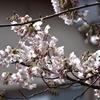 金沢の桜を撮りに行きました