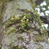 マメヅタランの花 大きな木に着生