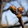 木々の花芽 2017 2月