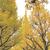 神宮外苑いちょう並木へ