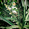 ミスキャンタス -花が咲くー