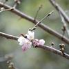 水上村の桜「開花宣言」 ソメイヨシノは3月末に見頃
