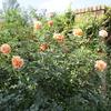 秋バラを見にガーデンをはしごしました !!    (その1)