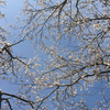 桜の木***