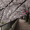 桜クエスト9(柏尾川)