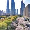 上海ドローン・一目で上海の桜だとわかる上海桜スポット2選