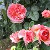 「まつこの庭」にバラの季節がやって来た !!