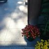 菊の季節の祝い