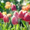春よ、来い。~チューリップ日記②~春はもうすぐ!