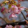 河津桜が咲き始めました(速報)
