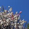 【鎌倉いいね】2月17日現在撮れたて鎌倉の梅の花