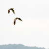 二羽つれだって飛ぶサンカノゴイ