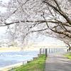 【金沢】犀川沿いに広がる桜並木は美しくて気持ちよく散歩にもおすすめの場所