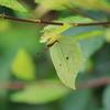 木の葉のようなチョウ