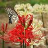 庭の「彼岸花」