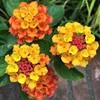 ランタナの花と実