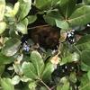 浜松市で垣根の中にできた蜂の巣の駆除してきました!