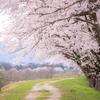ぐるり桜道:神通川さくら堤・塩の千本桜