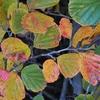 同じ枝に いろんな色の葉が