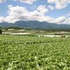 【リゾートバイト】レタスで有名な長野県川上村での農業バイトでの貴重な体験記録 (仕事内容、給料、寮など)