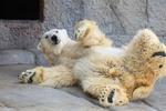 大の字で寝転ぶホッキョクグマ、笑顔のレッサーパンダ! 円山動物園の動物たち。