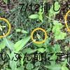 定植後のホーリーバジル成長が遅い。結果追記9/22
