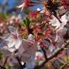 桜と鳥居とパオ