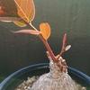 赤い葉っぱのミラビリス