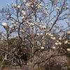 桜はまだか