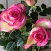 "【庭】Rosa.min "" Carousel Kordana """
