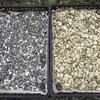 ビオトープのオイカワ産卵床