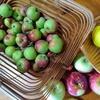 庭のりんごでアップルソース