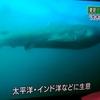 【前兆】超レア!千葉県沖で生きたメガマウス出現~さかなクンもギョギョギョ!~大地震の前兆か?