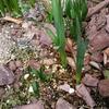 スイセンが咲いた スズランも少し咲いた?