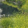 黄色の菜の花はずっと続く