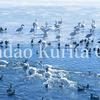 コハクチョウとカモの群れ 諏訪湖