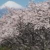 2021年 龍岩淵 岩本山 富士霊園 時之栖などの桜の開花状況 2.5週目