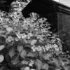 佃島住吉神社の紫陽花と旧神輿庫