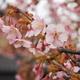 金沢でも「河津桜」が咲き始めました(笑)