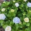 紫陽花(アジサイ)の庭植え