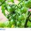 ミニトマト 家庭菜園 写真素材