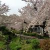 北沢川緑道で花見散歩して水無川緑道も歩く